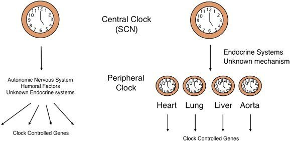 The body has other secondary or peripheral circadian clocks