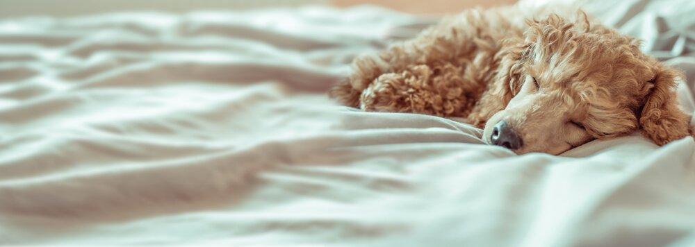 A cute poodle sleeping on owners own bed lying on bed sheets.