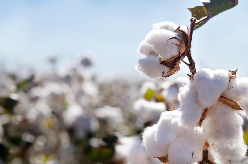 A field of ripe cotton bolls